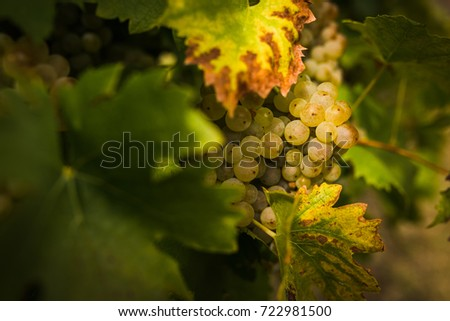 Nice bunch of hungarian grapes