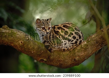 Nice cat margay sitiing on the branch in the costarican tropical forest - stock photo