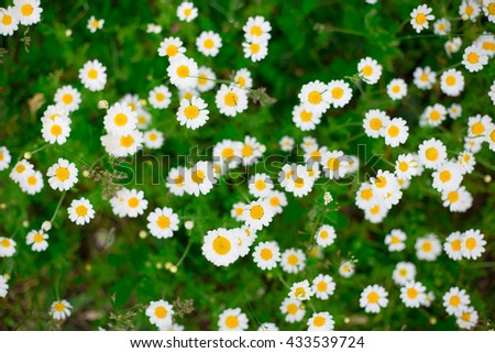 Nice chamomile background with blurred flowers and green grass - stock photo