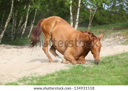 Nice chestnut horse lying down in the sand in hot summer