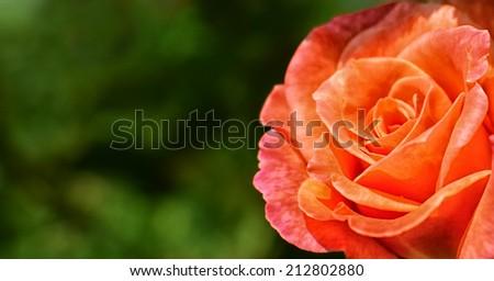 Nice detail of orange blooming rose in summer garden - stock photo