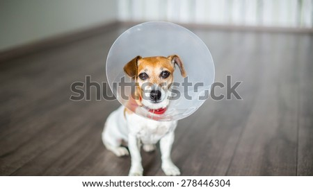 Nice dog Jack Russell terrier sitting with vet Elizabethan collar on the gray floor - stock photo