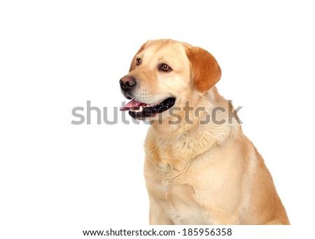 Nice dog labrador breed isolated on white background - stock photo