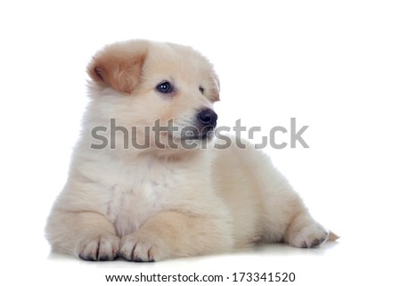 Nice dog with soft white hair tired isolated
