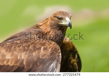 nice female golden eagle - stock photo