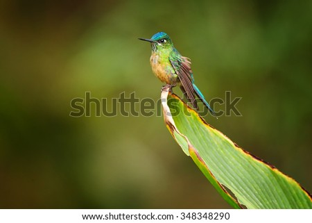 Nice female hummingbird Long-tailed Sylph Aglaiocercus kingi showing off its best colors in its natural environment, perched on big leaf. - stock photo