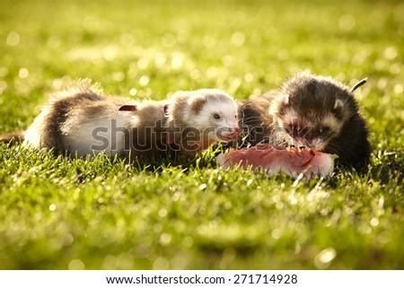 Nice ferret couple - stock photo