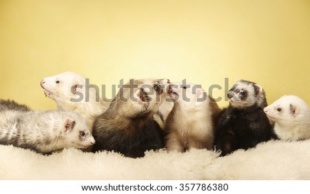 Nice ferret group in studio - stock photo