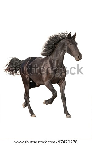 Nice friesian horse running on white background - stock photo