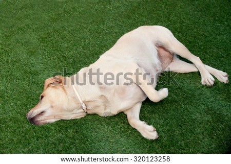 Nice golden labrador dog lying on the grass - stock photo