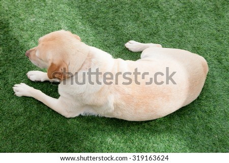 Nice golden labrador dog lying on the grass seen from above - stock photo