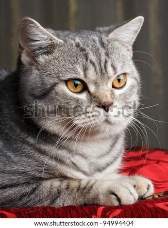 nice gray cat - stock photo
