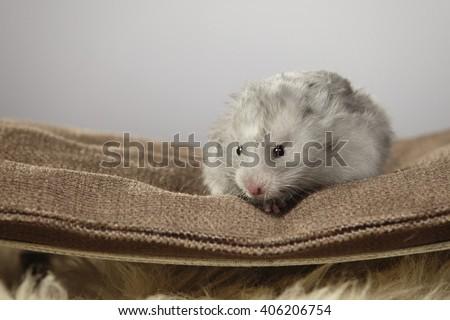Nice gray hamster in studio on sofa - stock photo