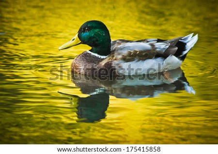 Nice green headed duck swims in the autumn trees reflected golden yellow water - stock photo
