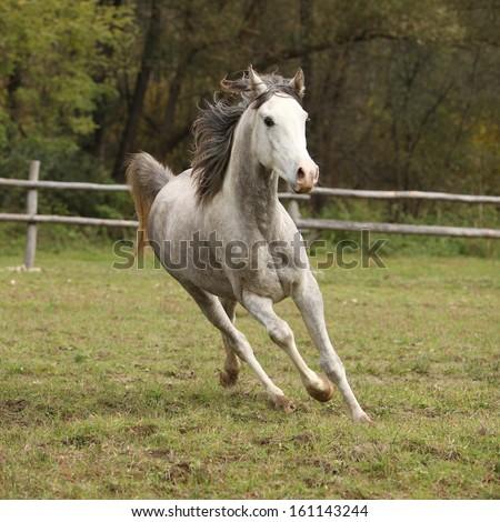 Nice grey arabian stallion with flying mane running on pasturage - stock photo