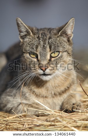 Nice grey cat lying on a straw in front of some building - stock photo