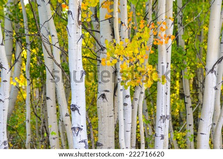 nice grove of aspens in Colorado in early fall, focus on yellow leaves in foreground - stock photo