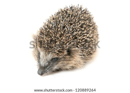 Nice hedgehog walking and sniffing around - stock photo