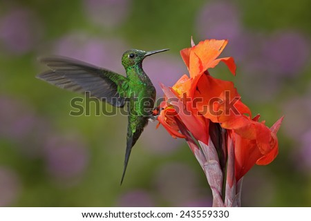 Nice hummingbird Green-crowned Brilliant , Heliodoxa jacula, flying next to beautiful orange flower with ping flowers in the background, La Paz, Costa Rica  - stock photo