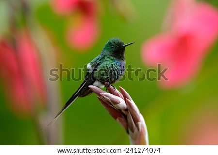 Nice hummingbird Green Thorntail  (Discosura conversii) with blurred pink and red flowers in background, La Paz, Costa Rica - stock photo