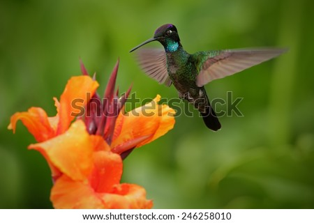 Nice hummingbird, Magnificent Hummingbird,  Eugenes fulgens, flying next to beautiful orange flower with ping flowers in the background, Savegre, Costa Rica  - stock photo