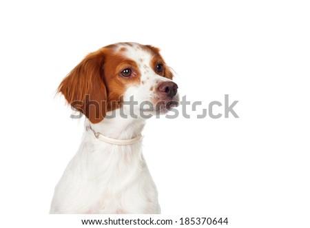 Nice hunting dog isolated on a white background - stock photo