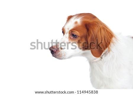 Nice hunting dog isolated on white background - stock photo