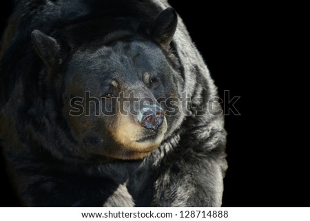 Nice Image of a Black Bear on Black background
