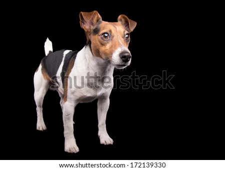 Nice Jack Russel terrier dog is isolated on a black background. Animal portrait. Playful dog is on a colorful background. Collection of funny animals - stock photo