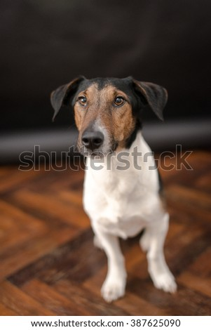 Nice Jack Russel terrier dog is isolated on a black background. Animal portrait. Playful dog is on a colorful background.