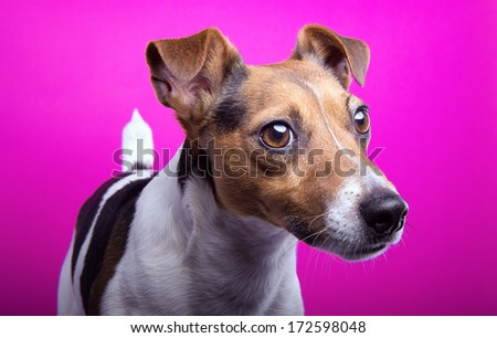 Nice Jack Russel terrier dog is isolated on a pink background. Animal portrait. Playful dog is on a colorful background. Collection of funny animals - stock photo