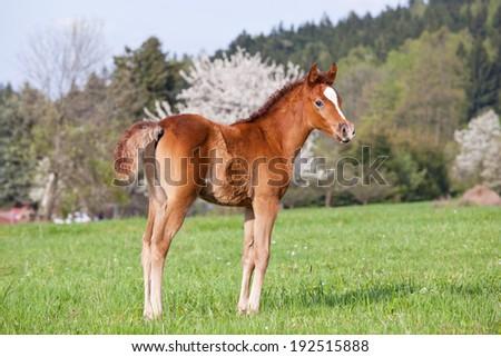 Nice little arabian foal on pasture - stock photo