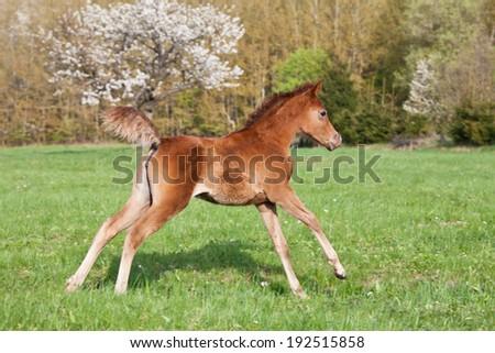 Nice little arabian foal running on pasture - stock photo