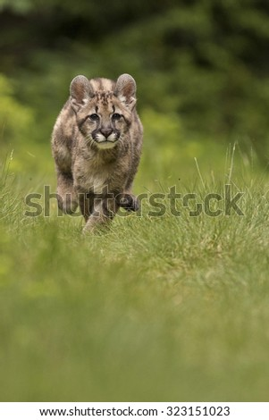 Nice little Puma cub run through the green grassland