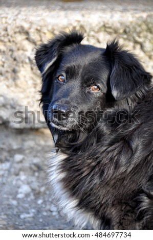 nice Long fluffy black dog with short legs