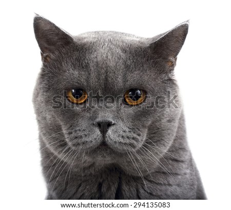 Nice looking British cat