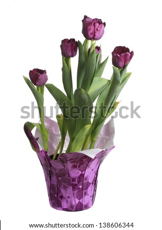 nice natural purple tulip in a pot, isolated on white - stock photo