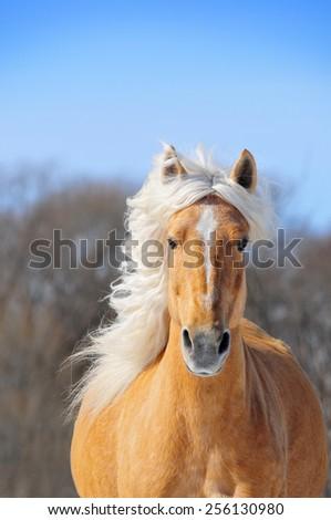 Nice palomino horse running portrait in spring - stock photo