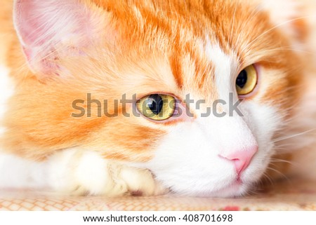Nice pensive portrait of adult red cat - stock photo