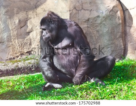Nice photo of black African gorilla in zoo