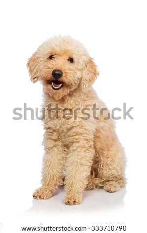 Nice poodle dog isolated on white - stock photo