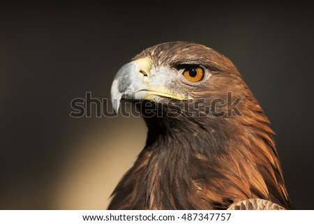 nice portrait golden eagle
