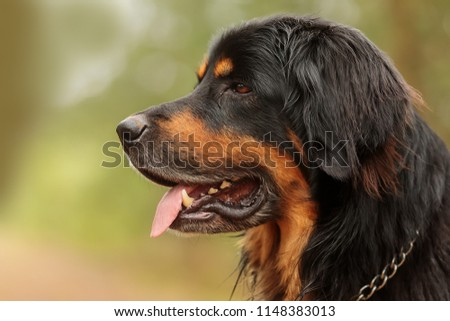 stock-photo-nice-portrait-of-dog-hovawar
