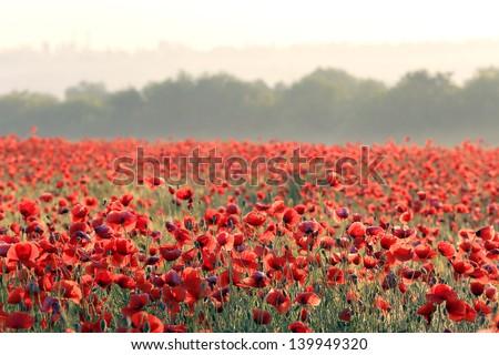 nice red poppy on field - stock photo