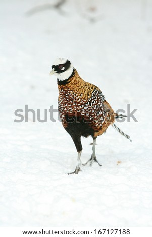 Nice Ringneck Pheasant walking on the snow in winter - stock photo