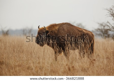 nice scenery with European bison
