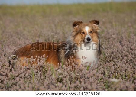 Nice sheltie posing on meadow - stock photo