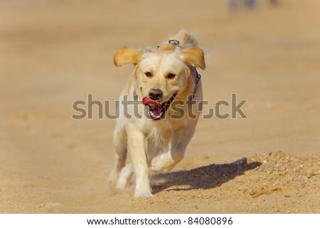 Nice specimen of dog of the race Golden Retriever running - stock photo