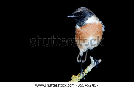 Nice specimen of male Stonechat with black background