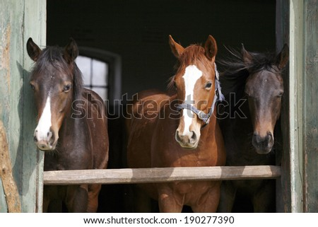 Nice thoroughbred horses in the stable. Youngsters in the barn - stock photo